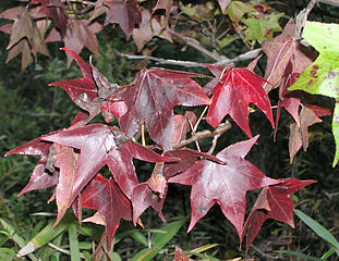 311px-Fall_sweetgum_leaves_0197